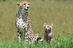 与崽的猎豹 库存图片