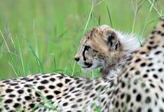 与崽的猎豹 免版税库存照片