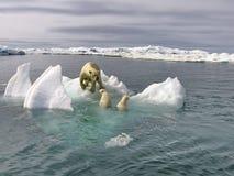 与崽的白色她熊在冰在白令海 一头北极熊,一头北熊,一umka拉特 熊属类maritimus 免版税库存图片