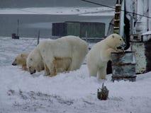 与崽的白色她熊 一头北极熊,一头北熊,一umka拉特 熊属类maritimus,世界的最大的土地掠食性动物 免版税图库摄影