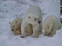 与崽的白色她熊 一头北极熊,一头北熊,一umka拉特 熊属类maritimus 库存图片