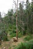 与崽的阿拉斯加的棕熊母猪在树 免版税库存照片
