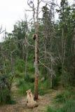 与崽的阿拉斯加的棕熊母猪在树 图库摄影