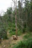 与崽的阿拉斯加的棕熊母猪在树 免版税图库摄影