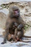 与崽的hamadryas狒狒 免版税图库摄影