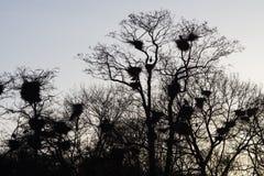 与巢的苍鹭 免版税库存图片