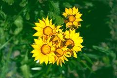 与工作的蜂的特写镜头向日葵 库存图片