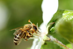 与工作的蜂蜜蜂的花 免版税库存照片
