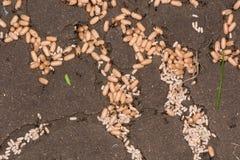 与工作者的共同的黑蚂蚁(Lasius尼日尔)蛹 库存图片
