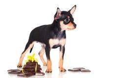 与巧克力片的俄国玩具狗小狗 免版税库存照片