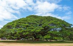 与巨型的树干,泰国的壮观的大雨豆树 库存图片