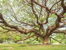 与巨型的树干,泰国的壮观的大雨豆树 免版税库存图片