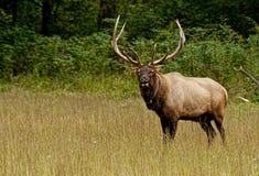 与巨型的鹿角的一只公牛麋站立观看人群。 免版税库存照片