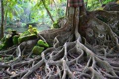 与巨大根的异常的树 免版税图库摄影