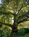 与巨大的冠的老欧洲悬铃树 免版税图库摄影