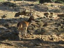 与巨大的分支的垫铁立场的成人鹿在山的石倾斜 免版税库存图片