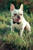 与巨大的大耳朵的花梢法语-英语美国牛头犬和白色毛皮皮肤佩带的领带先生们和蜂服装享受夏天蒂姆 免版税库存照片
