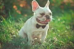 与巨大的大耳朵的花梢法语-英语美国牛头犬和白色毛皮皮肤佩带的领带先生们和蜂服装享受夏天蒂姆 库存照片