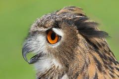 与巨大的橙色眼睛和soffgli的猫头鹰开放额嘴 免版税库存照片