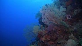 与巨大的海底扇的珊瑚礁 股票视频