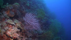 与巨大的海底扇的珊瑚礁 影视素材