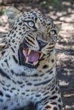 与巨大的牙的咆哮豹子 免版税库存图片