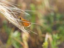 与巨大的眼睛的逗人喜爱的矮小的橙色蝴蝶 免版税库存照片