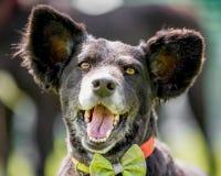 与巨大的耳朵和嘴开放看照相机的面孔画象的一条巴西抢救狗 库存照片