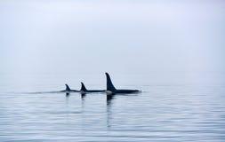 与巨大的背鳍的三只虎鲸在温哥华岛 库存照片