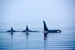与巨大的背鳍的三只虎鲸在温哥华岛 图库摄影