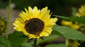 与巨大的绿色努力工作叶子和两只的蜂的向日葵 免版税库存照片