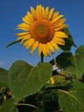 与巨大的绿色的明亮的黄色向日葵在蓝天背景,晴天,夏天离开 库存照片