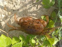 与巨大身体纹理的微小的螃蟹 免版税图库摄影