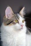 与布朗平纹标号的八个月的白色小猫 免版税图库摄影