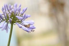 与布朗蝴蝶的一朵紫色花 库存照片
