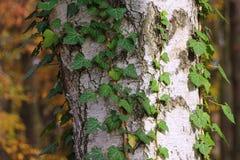 与常春藤叶子的吠声纹理 库存照片