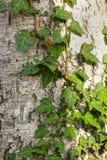 与常春藤叶子的吠声纹理 免版税库存图片