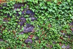 与常春藤的石墙 库存图片