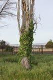 与常春藤的结构树 免版税库存照片