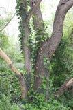 与常春藤的结构树 图库摄影