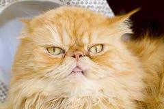 与帽子的红色波斯猫 图库摄影