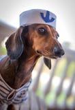 与帽子的红色达克斯猎犬狗 库存图片
