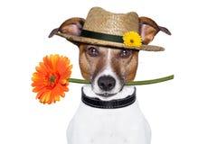 与帽子的花狗 库存图片