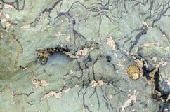 与帽贝的沿海绿色岩石 库存照片