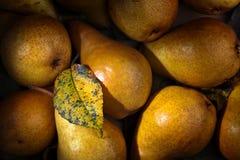 与干叶子的水多的成熟梨 库存照片