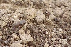 与干性皮肤的欧洲蟾蜍坐伪装在地球中 库存照片