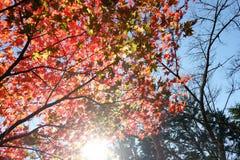 与干燥叶子和阳光-秋天风景日本的五颜六色的秋天树 免版税库存图片