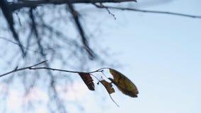 与干燥叶子摇摆的稀薄的分支在反对天空蔚蓝的风 影视素材