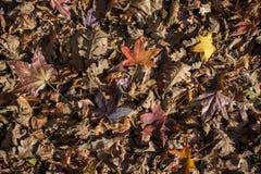 与干燥叶子的秋天背景 免版税图库摄影