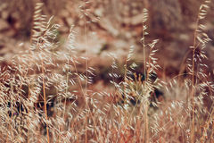 与干草和野燕麦的美好的领域在精美米黄和金黄颜色、秋天或者春天风景,墙纸,背景, 免版税图库摄影